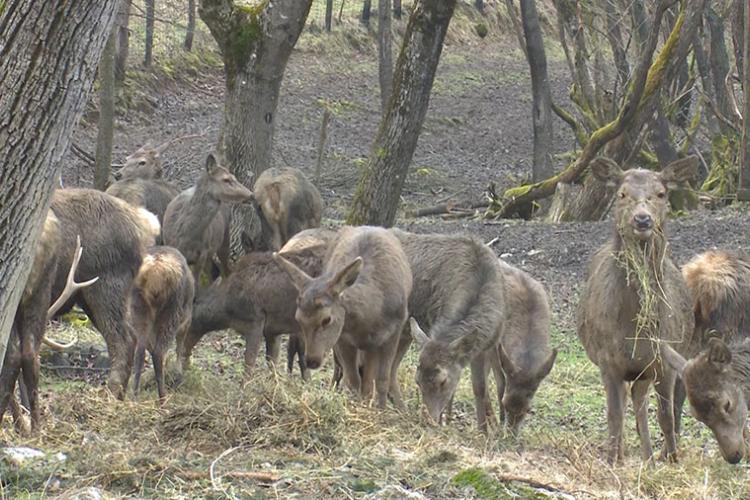Neobična farma kod Ključa: Alpski jeleni u grmečkim šumama
